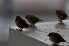 雨宿りの雀