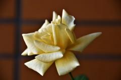 Yellow Q エリザベス(秋咲)4