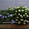 飛び出す紫陽花