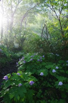 シラネアオイの咲く登山道