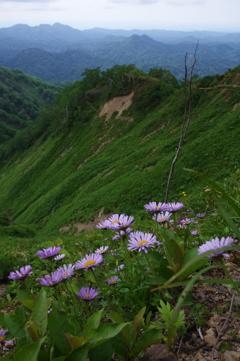 アズマギクの山