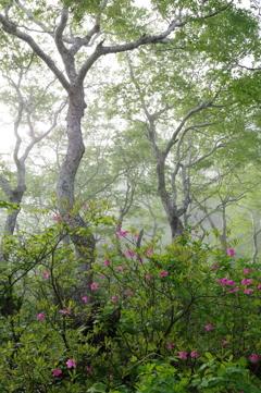 霧のツツジ