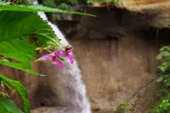 滝に咲く花