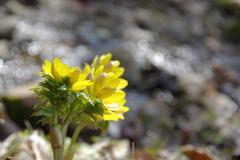 小さな沢に咲く花