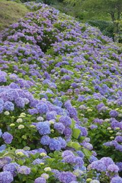 美の山公園紫陽花の滝