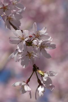 大國魂神社のしだれ桜
