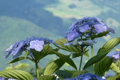 美の山公園紫陽花
