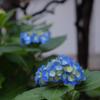 ASTIA BLUE