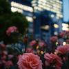 都会と薔薇