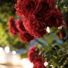 12800の薔薇