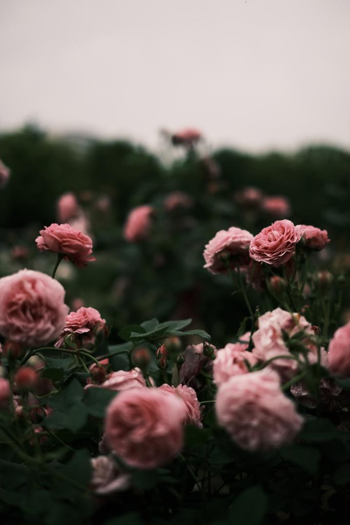 曇天に薔薇