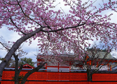 河津桜と白梅共演