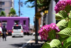 紫陽花と嵐電