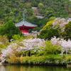 桜の大覚寺