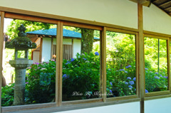 紫陽花を映す窓