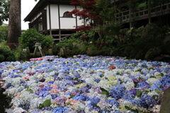 紫陽花の浮く池