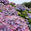 紫陽花の生垣