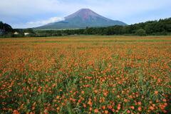 キバナコスモスと富士山