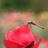 バラに止まる赤とんぼ