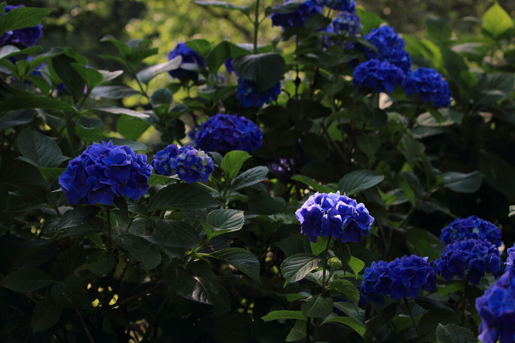 木漏れ日を受ける紫陽花