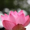 木漏れ日を背に咲く蓮の花