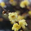 雨に濡れる蝋梅