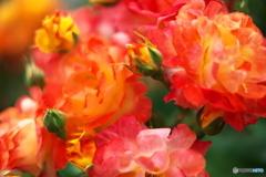 鮮やかに咲く