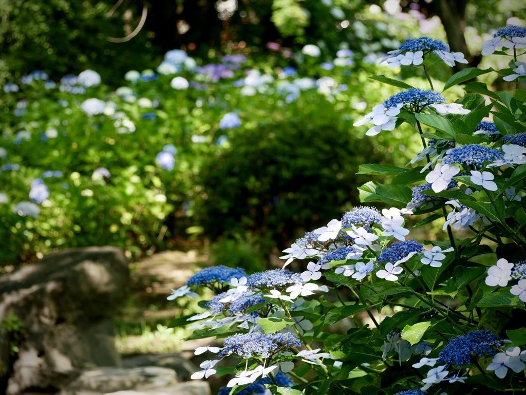 紫陽花の咲く公園4