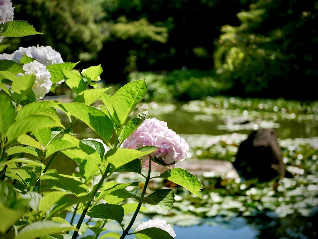 紫陽花の咲く公園3