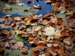落ち葉の池に咲く