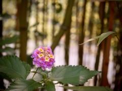 竹やぶのランタナ