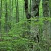 新緑 ブナ林