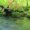 ツツジ咲く 奥入瀬渓流