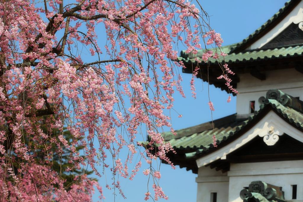 弘前城と桜 1