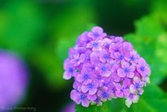 今日の紫陽花・・・