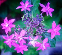 紫陽花・・・