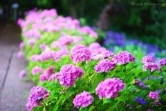 今日の紫陽花・・・・