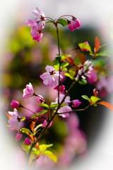 路傍の花(ハナカイドウ)