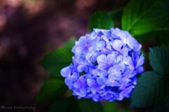 紫陽花・・・・
