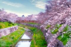 山崎川の桜・・・
