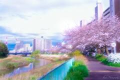 さくら咲く小道Ⅱ