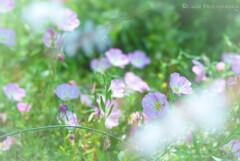 昼咲月見草・・
