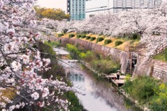 桜・・・・