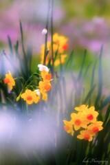 水仙の花・・・