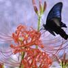 久々に綺麗な蝶々に出会いました・・・