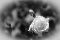 白いバラを貴女に・・・