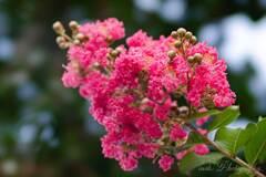 路傍の花・サルスベリ
