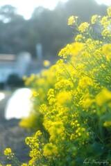 菜の花・・