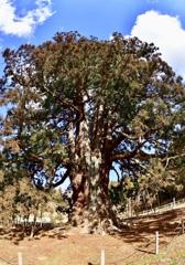 福島県1位の巨木②