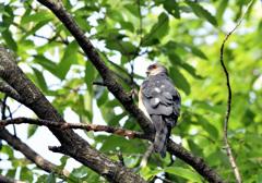 巣を監視するオス